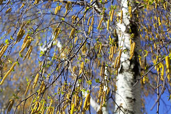 Koivun kukinta alkaa lähiviikkoina Etelä-Suomessa